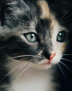 Stunning Calico Kitten - June 2016 - We Love Cats and Kittens More Tap the link for an awesome selection cat and kitten products for your feline companion! Cute Cats And Kittens, I Love Cats, Crazy Cats, Cool Cats, Kittens Cutest, Ragdoll Kittens, Kittens Meowing, Tabby Cats, Bengal Cats