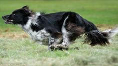 Border Collie on the Run. Border Collie Pictures, Border Collie Mix, Border Collie Puppies, Blue Merle, Big Dogs, I Love Dogs, Scotch Collie, Big Dog Breeds, Dog Expressions