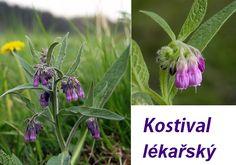 MAGD4 - Využití léčivých bylin - Kostival lékařský Herb Garden, Home And Garden, Nordic Interior, Healing Herbs, Korn, Life Is Good, Remedies, Food And Drink, Homemade