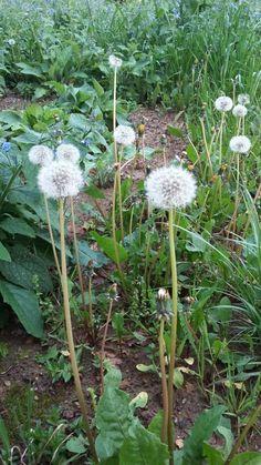 Dente de león Dandelion, Flowers, Al Dente, Plants, Florals, Royal Icing Flowers, Flower, Blossoms, Bloemen