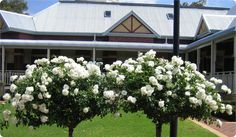 Copy of Standard Iceberg roses used for their vibrant white colour in the warmer months.JPG