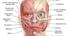 anatomical facial muscles painting - GREAT diagram for Microcurrent!