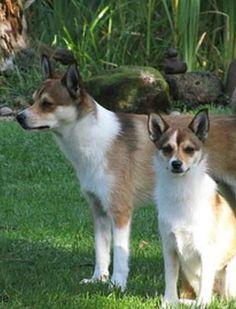 Norwegischer Lundehund - seltene Hunderasse mit sechs Zehen