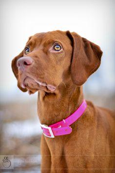 Vizsla- she's a GREAT dog!