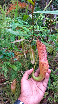 Nepenthes gymnamphora upper pitcher