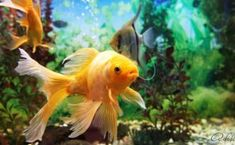 Gold colorful fish swimming in aquarium with plants Colorful Fish, Tropical Fish, Tropical Plants, Feng Shui, Ask A Vet, All Fish, Fungal Infection, Fish Swimming, Healthy Pets