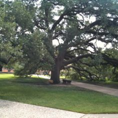 One fav place! Century tree on Texas A campus