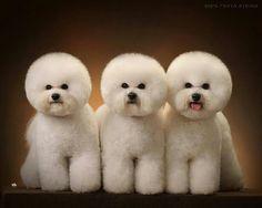 Bichon trio opawz.com  supply pet hair dye,pet hair chalk,pet perfume,pet shampoo,spa....