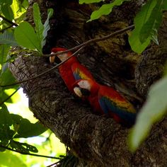 A couple of scarlet macaws nest in a tree, Carara National Park, Costa Rica.  http://www.greennoise.cr/carara