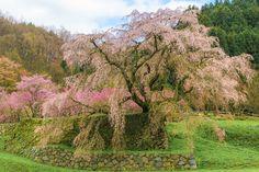 Matabei Sakura by Ryusuke Komori on 500px