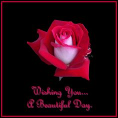 White Pink and Red Rose Images for Rose Day in Valentine week | Happy Valentine Day 2015