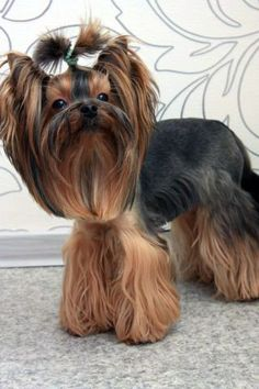 Explore Yorkie Haircuts Pictures