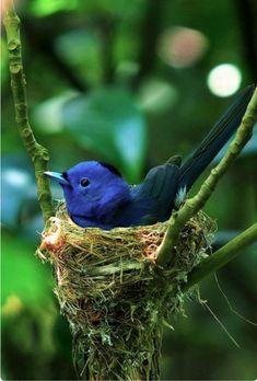Blue-naped Monarch on nest.