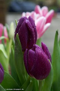 Tulpe Tropfen ~ Tulip Droplets