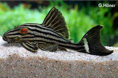 Panaque nigrolineatus - the Royal Plecostomus. Aquarium Catfish, Saltwater Aquarium Fish, Tropical Fish Aquarium, Tropical Freshwater Fish, Freshwater Aquarium Fish, Pleco Fish, Plecostomus, Salt Water Fish, Aquarium Design