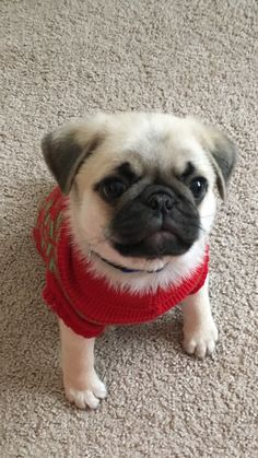 Cutest pug puppy