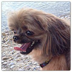 #ilovemydog #kiblet #shorkieswag