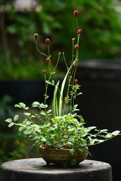 Love this Sanguisorba in the little bonsai pot. Just have to try this!