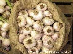 5 Step Guide to Growing Gorgeous Garlic - and why you SHOULD!