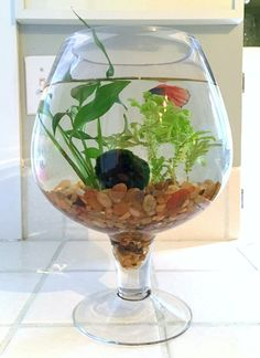 How to make a betta fish bowl with live plants Betta Fish Bowl, Betta Fish Care, Betta Aquarium, Fish Aquariums, Indoor Water Garden, Water Gardens, Indoor Gardening, Organic Gardening, Fish Garden