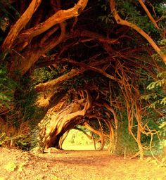 The medieval Aberglasney House features one of the most beautiful gardens in Wales, UK. They have been an inspiration to writers since 1470. The Yew Tunnel is a popular tourist attraction in this area. Believe it or not, it took nine years of pruning to restore this unique archway.