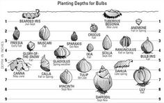 Bubs and planting depth + tip: if not sure which way up is 'up' plant them on their sides! easy.