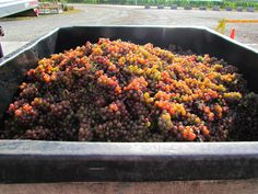 Picture perfect hand picked Gewurztraminer from our estate vineyards here at Dr. Frank's.
