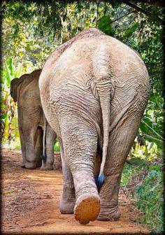 Boon Lott's Elephant Sanctuary - BLES - Love that beautiful butt!