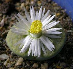Lithops fulviceps cv. 'Aurea'
