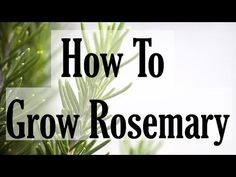 Tips For Growing Rosemary Herb Plants Herb Garden