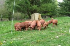 Raising Pastured Pigs – A Video Series for Beginning Farmers