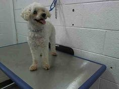 SOFY (A1641748) I am a female white Poodle - Miniature.  The shelter staff think I am about 7 years old.  I was found as a stray and I may be available for adoption on 09/13/2014. — hier: Miami Dade County Animal Services. https://www.facebook.com/urgentdogsofmiami/photos/pb.191859757515102.-2207520000.1410472520./836946656339739/?type=3&theater