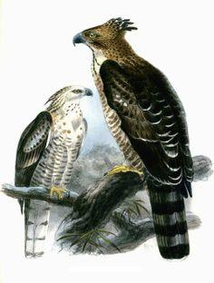 Aigle montagnard - Nisaetus nipalensis