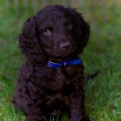 """irish water spaniel puppy"""