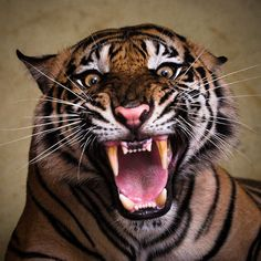 A Sumatran tiger roars at photographer Syahrul Ramadan at Ragunan Zoo, in Jakarta, Indonesia. Picture: Syahrul Ramadan / Barcroft Media