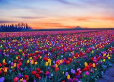 Skagit Valley Tulip Festival is a Monument in Mount Vernon. Plan your road trip to Skagit Valley Tulip Festival in WA with Roadtrippers. Beautiful Places, Beautiful Pictures, Inspiring Pictures, Beautiful Beautiful, Random Pictures, Beautiful Scenery, Amazing Photos, Absolutely Stunning, Amazing Places