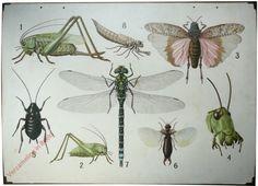 II - [Sabelsprinkhaan, oorworm, libelle, e.a.]