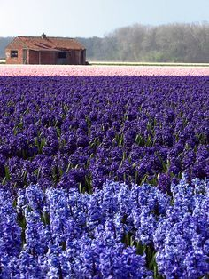 Hyacinths from Vogelenzang, North Holland, NL.