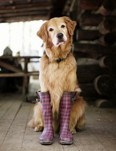 and when i'm not barefoot, i love wearing boots of any kind... even if they have been worn by a dog...