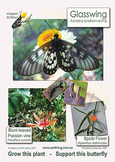 Glasswing lifecycle poster image