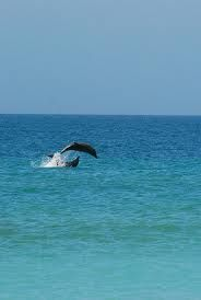 Dolphins are a daily sighting off the shores of North Captiva Island. North Captiva Island, Sanibel Island, Great Vacations, Beach Vacations, Shell Island, Kayak Tours, Florida, Fort Myers Beach, Island Tour
