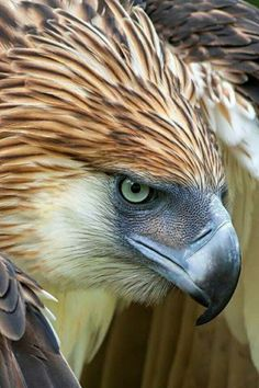 largest eagles though the Steller's Sea Eagle & the Harpy are heavier. Due to massive deforestation and loss of habitat in its range, the Philippine Eagle is critically endangered. Only about 200 are left in the wild. Nature Animals, Animals And Pets, Cute Animals, Harpy Eagle, Bald Eagle, Exotic Birds, Colorful Birds, Beautiful Birds, Animals Beautiful