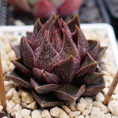 Echeveria purpusorum 大和锦 2018-10-27 #succulents #多肉植物 #echeveria