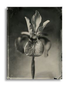 Wet Plate Collodion Flora by Dave King, via Behance