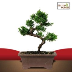 Shimpaku Juniper Bonsai Tree - a favorite of many a bonsai gardener.