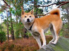 Shiba in the Forest | Nikon D90 , 18-200VR, 22mm, 1/60, f/4.… | Flickr