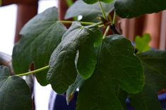 What you need to know about planting figs, fig tree care, & growing an indoor fig tree. The pretty tropical foliage & sweet harvest make them hard to beat. Indoor Fig Trees, Potted Trees, Growing Fig Trees, Garden Whimsy, Home Vegetable Garden, Tree Care, Container Gardening Vegetables, Garden Spaces, Fruit Trees