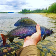 The Beautiful Arctic Grayling - Amberjack JournalYou can find Freshwater fish and more on our website.The Beautiful Arctic Grayling - Amberjack Journal Trout Fishing Tips, Kayak Fishing, Walleye Fishing, Fishing Knots, Fishing Trips, Salmon Fishing, Fishing Charters, Carp Fishing, Gone Fishing