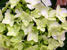 Hortensia Plants, Spring, Flowers, Planters, Plant, Planting