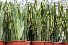 Looking for Snake Plant, also known as Mother-in-law's tongue , for your garden landscape? Find Sansevieria trifasciata Laurentii availability & prices online now. Sansevieria Trifasciata, Snake Plant Care, Mother In Law Tongue, Bathroom Plants, Plantar, Tropical Plants, Cactus Plants, Growing Plants, Gardens